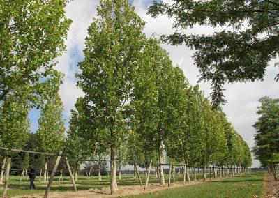 Platanus-acerifolia-Tremonia-90-100-120-5TERP-(8)