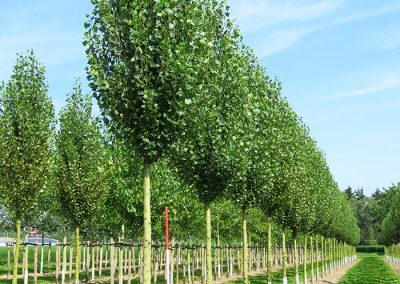 Populus-nigra-Italica-20-25-30-HORST-_3