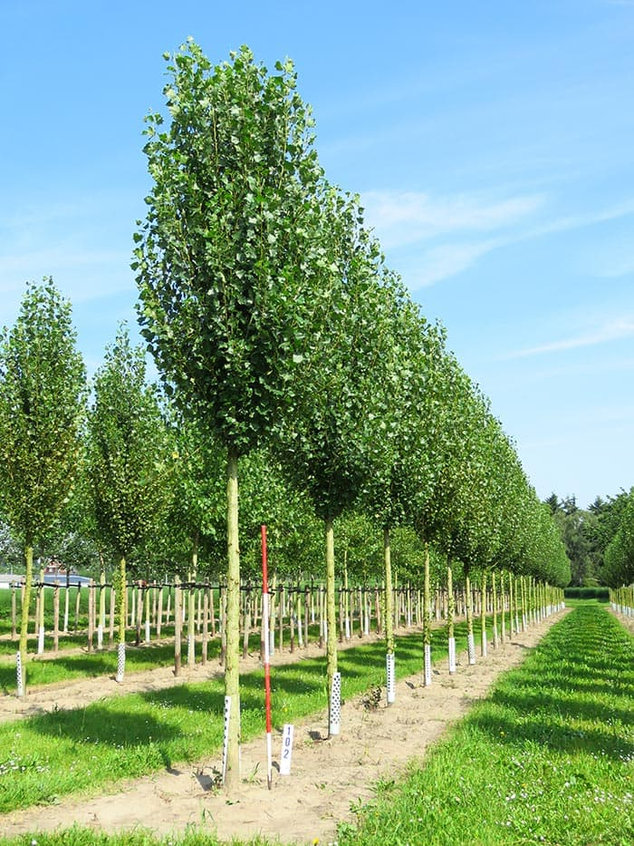 Populus nigra Italica Hochstamm
