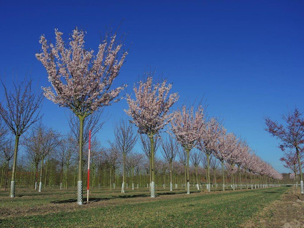 Prunus Pandora Hochstamm