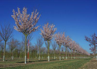 Prunus-Pandora-20-25-30-35-2BE_1