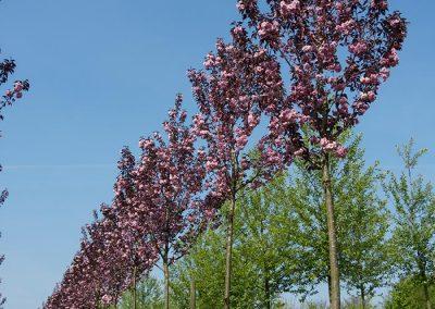 Prunus-serrulata-Royal-Burgundy-18-20-25-30-2LOBB_09