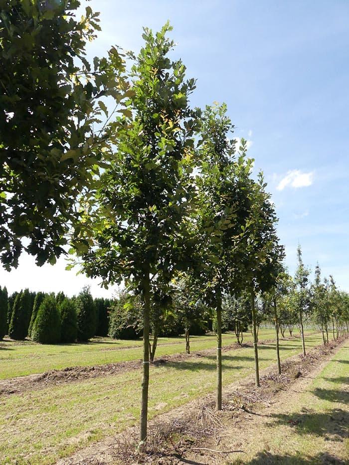 Quercus Heritage Hochstamm