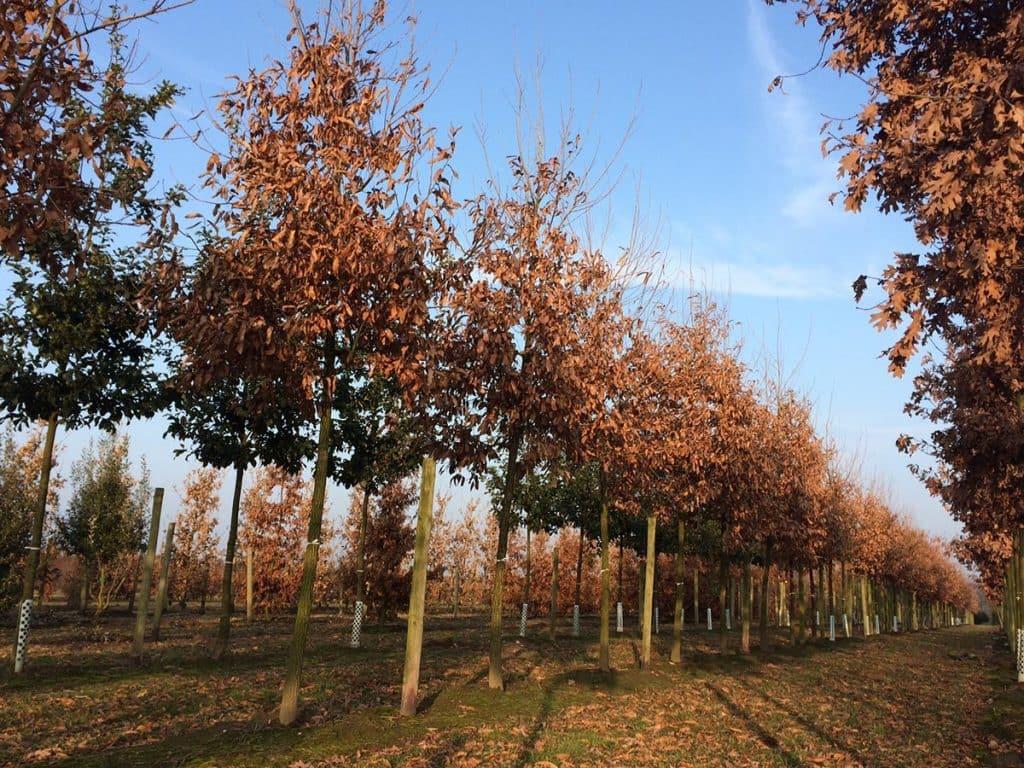 Quercus castaneifolia Green Spire Hochstamm