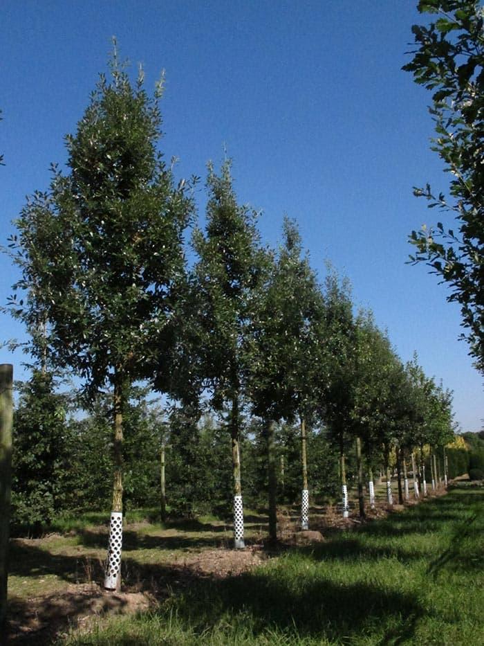 Quercus hispanica Fulhamensis Hochstamm