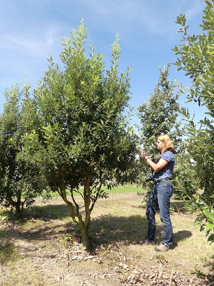 Quercus hispanica Fulhamensis mehrstämmig aufgeastet