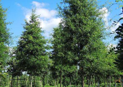 Quercus-phellos-25-30-35-1BAER_05