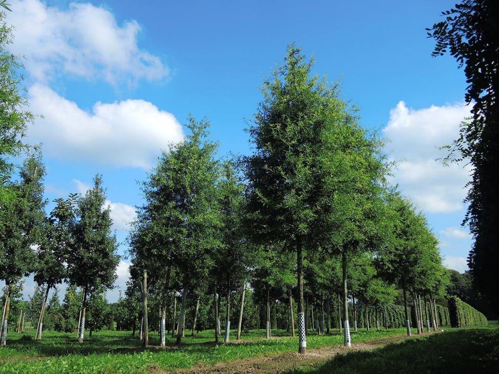 Quercus phellos Hochstamm