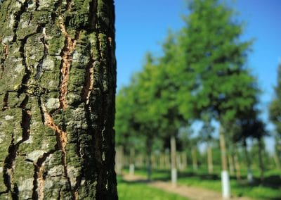 Quercus-phellos-Rinde-(36)