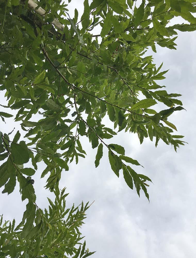 Quercus-acutissima