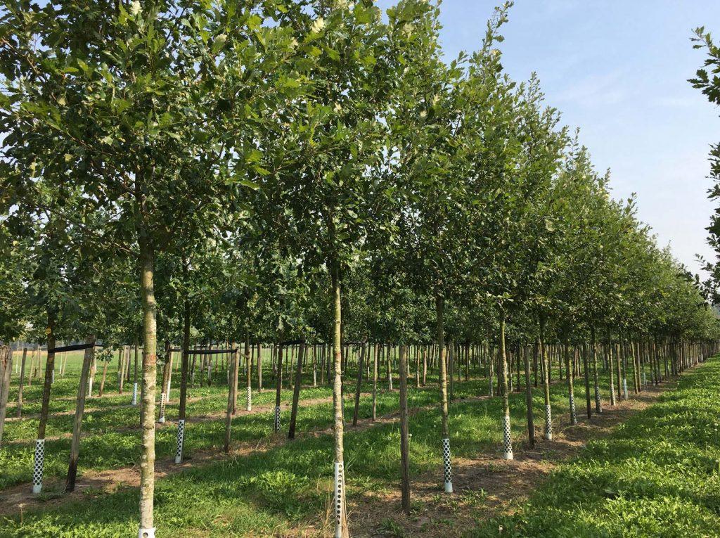 Quercus macdanielii 'Clemons'