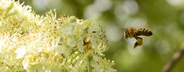 Bienennährgehölze