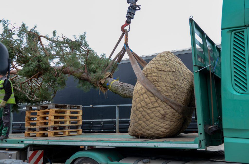 Verladung Pinus sylvestris 04