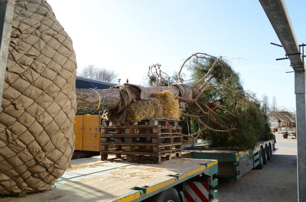 Verladung zweite Pinus sylvestris 2