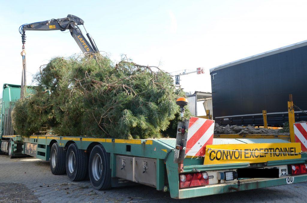 Verladung zweite Pinus sylvestris 3