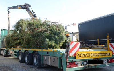 Verladung von XXL-Pinus
