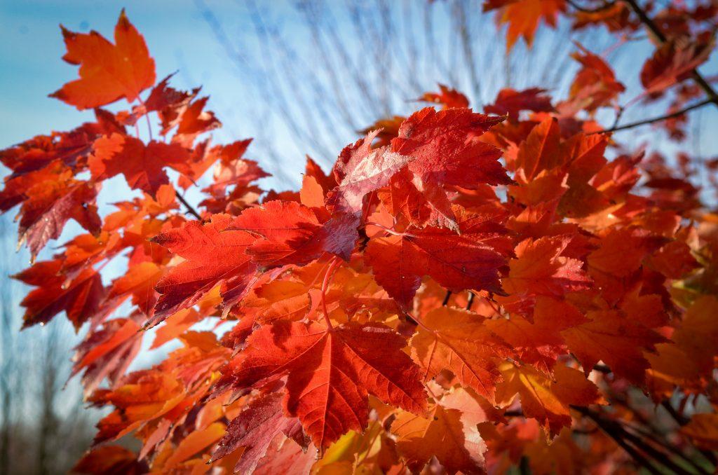 12 Acer rubrum October Glory Blatt