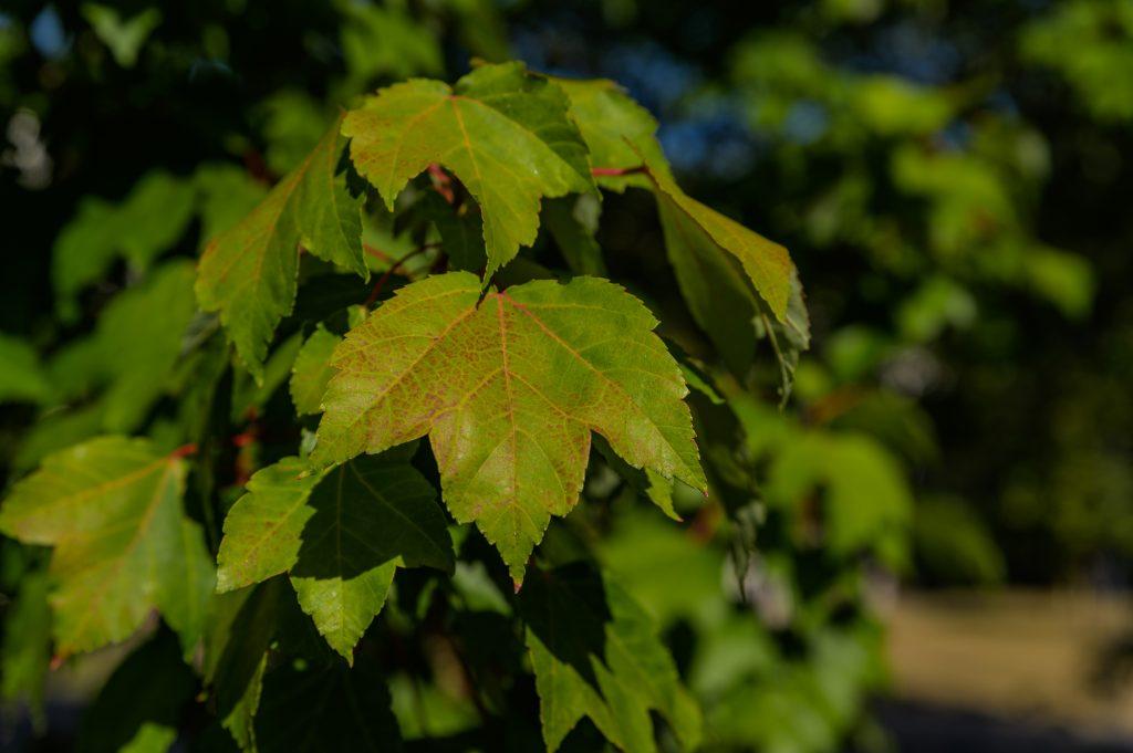 8 Acer Rubrum